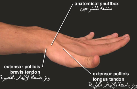 منشقة المشرحين Anatomical Snuff-box